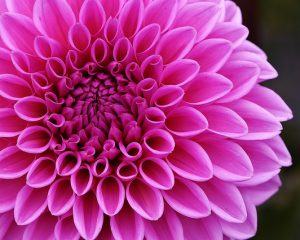 You Can Grow Dahlias @ Home of Carol Grant | Shenandoah Junction | West Virginia | United States